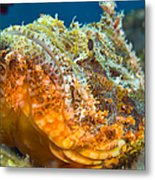 Papuan Scorpionfish Lying On A Reef Metal Print