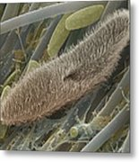 Paramecium Sp. Protozoan, Sem Metal Print by Power And Syred