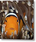 Percula Clownfish In Its Host Anemone Metal Print