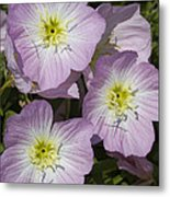 Pink Evening Primrose Wildflowers Metal Print