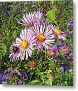 Pink New York Aster- Symphyotrichum Novi-belgii Metal Print
