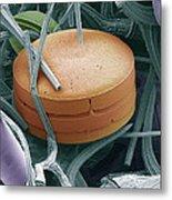 Planktonic Diatom Alga, Sem Metal Print by Steve Gschmeissner