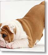 Playful Bulldog Pup Metal Print