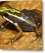 Poison Frog With Eggs Metal Print