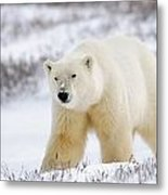 Polar Bear, Churchill, Manitoba Metal Print