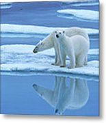 Polar Bear Ursus Maritimus Pair On Ice Metal Print