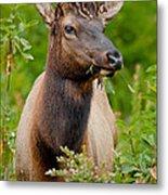 Portrait Of A Bull Elk Metal Print