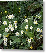 Primroses (primula Vulgaris) Metal Print by Dr Keith Wheeler