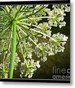 Queen Ann's Lace Metal Print
