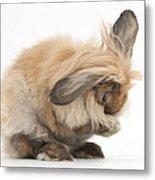 Rabbit Grooming Metal Print