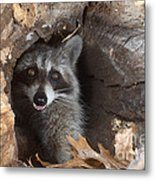 Raccoon Procyon Lotor Metal Print