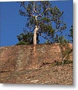 Red Pine Tree Metal Print