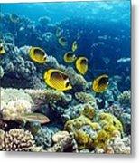 Red Sea Raccoon Butterflyfish Metal Print by Georgette Douwma