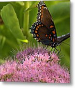 Red Spotted Purple Butterfly On Sedum Metal Print
