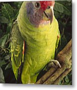 Red-tailed Amazon Amazona Brasiliensis Metal Print
