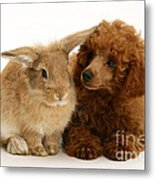 Red Toy Poodle And Rabbit Metal Print
