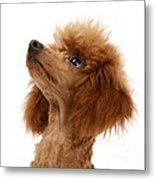 Red Toy Poodle Metal Print