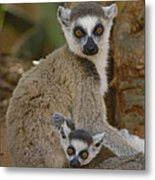 Ring-tailed Lemur Lemur Catta Mother Metal Print