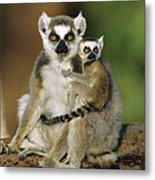 Ring-tailed Lemur Mother And Baby Metal Print