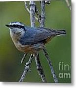 Rose Breasted Nuthatch Metal Print