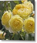 Rose (rosa 'charlotte Auspoly') Metal Print by Dr Keith Wheeler