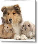 Rough Collie Pup With Two Young Rabbits Metal Print