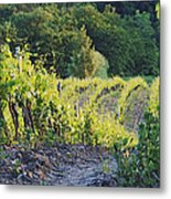 Rows Of Grapevines At Sunset Metal Print