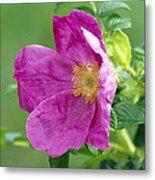 Salt Spray Rose Flower (rosa Rugosa) Metal Print