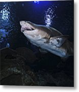 Sand Tiger Shark, Blue Zoo Aquarium Metal Print