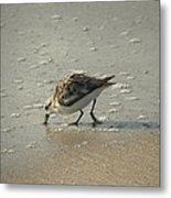 Sandpiper Hunting On Assateague Island Maryland Metal Print