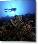 Scuba Diver Swims By Some Large Sponges Metal Print