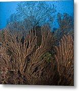 Sea Fan Seascape, Belize Metal Print