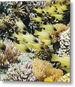 Seale's Cardinalfish Metal Print