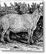 Sheep, C1800 Metal Print
