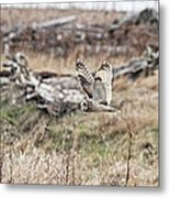 Short Eared Owl In Flight Metal Print