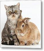 Silver Tabby Cat And Lionhead-cross Metal Print