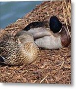 Sleeping Ducks Metal Print