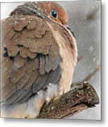 Snowy Mourning Dove Metal Print