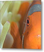 Spinecheek Anemonefish In Anemone Metal Print
