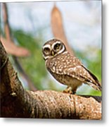 Spotted Owlet Metal Print
