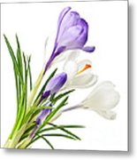 Spring Crocus Flowers Metal Print