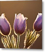 Spring Time Crocus Flower Metal Print