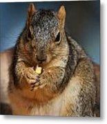 Squirrel Eating Corn Metal Print