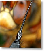 Stinger Of The Cicada Killer Wasp Metal Print
