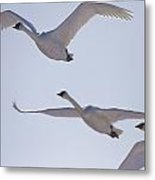 Swans Flying In Formation, Yukon Metal Print