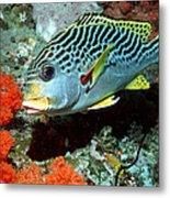 Sweetlips Fish Metal Print