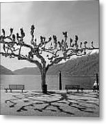sycamore trees in Ascona - Ticino Metal Print