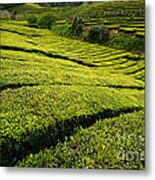 Tea Gardens Metal Print