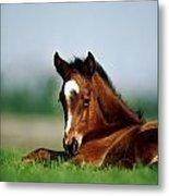 Thoroughbred Foal, Ireland Metal Print