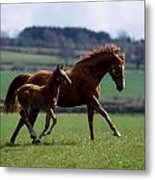 Thoroughbred Mare & Foal, Ireland Metal Print